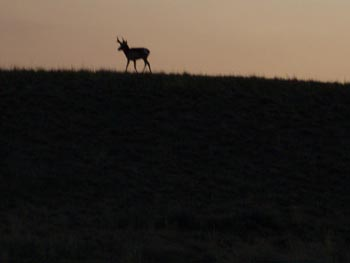 Pronghorn buck on a ridge at sunset
